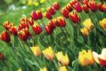 Thumbnail Bed of tulips Tulipa