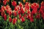 Thumbnail Bed of tulips Tulipa