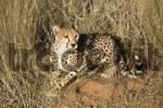 Thumbnail Cheetah Acinonyx jubatus