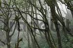 Thumbnail Garajonay National Park, laurel forest, laurisilva, La Gomera, Canary Islands, Spain