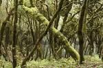 Thumbnail Garajonay National Park, laurel forest, laurisilva, La Gomera, Canary Islands, Spain