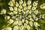 Thumbnail Carrot Daucus carota flower
