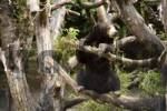Thumbnail Sun Bear Helarctos malayanus, Zoo of Basel, Switzerland, Europe