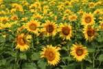 Thumbnail Field of sun flowers