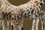Thumbnail Somali - or Reticulated Giraffes Giraffa camelopardalis reticulata at Cologne Zoo, Cologne, North Rhine-Westphalia, Germany, Europe