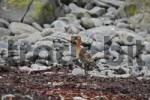 Thumbnail Black-tailed Godwit Limosa limosa, Vatnsnes Peninsula, northern Iceland, Iceland, Atlantic Ocean