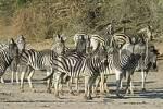 Thumbnail Plains Zebras Equus quagga burchelli in the dry riverbed, Boteti River, Khumaga, Makgadikgadi Pans National Park, Botswana, Africa