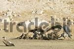Thumbnail Cape Griffon or Cape Vulture Gyps coprotheres and Marabou Stork Leptoptilos crumeniferus at a animal cadaver in the dry riverbed, Boteti River, Khumaga, Makgadikgadi Pans National Park, Botswana,