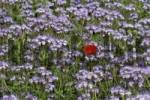 Thumbnail Single Field Poppy Papaver rhoeas growing in a field of Lacy Phacelias Phacelia tanacetifolia, Mt. Pollitzerberg, Weinviertel wine region, Lower Austria, Austria, Europe
