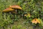 Thumbnail Slippery Jack or Slippery Bun mushrooms Suillus luteus, Grossarltal, near Salzburg, Austria, Europe
