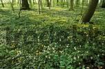 Thumbnail Wood Anemone, Anemone nemorosa, Dalby Hage, Dalby Soederskog National Park, Malmoehus Laen, Skane, Sweden