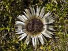 Thumbnail Silver Thistle or Stemless Carline Thistle Carlina acaulis, Grossarltal, Salzburg, Austria, Europe