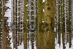 Thumbnail snowy boles in a forest in winter, Upper Bavaria, Germany