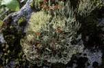 Thumbnail lichens, Cladonia sp, Norway