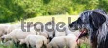 Thumbnail Dog watching over a herd of sheep