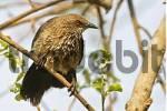 Thumbnail Arrow-marked Babbler Turdoides jardineii, Moremi Nationalpark, Moremi Wildlife Reserve, Okavango Delta, Botswana, Africa