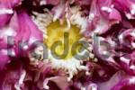 Thumbnail Lotusflower