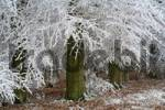 Thumbnail Frost-covered trees at the forests edge, Westerwald, Hesse, Germany, Europe
