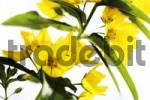 Thumbnail Spotted - or Yellow Loosestrife Lysimachia punctata