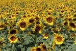 Thumbnail Sunflower field Helianthus annuus in Provence, France