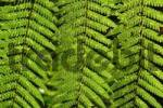 Thumbnail Fern Pteridophyta, Tasmania, Australia