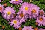 Thumbnail flowering chrysanthemum Chrysanthemum Indicum hybrid
