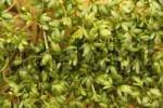 Thumbnail Garden Cress or Pepper Grass Lepidium sativum
