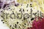 Thumbnail Garlic sprouts