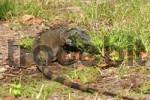 Thumbnail iguana eat grass in Florida