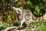 Thumbnail raccoon in Florida