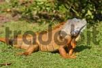 Thumbnail iguana in Florida