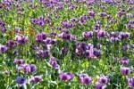 Thumbnail Corn poppy field Papaver rhoeas