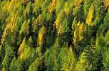 Thumbnail golden larch forest in autumn