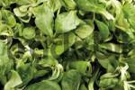Thumbnail Corn salad or lambs lettuce, format-filling