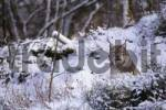 Thumbnail Eurasian Lynx Lynx lynx in the snow, Wildpark Bilsteinhoehle Bilsteinhoehle Zoo, Sauerland region, North Rhine-Westphalia, Germany, Europe