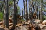Thumbnail Madagascar Palms Pachypodium geayi