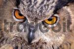 Thumbnail Eurasian Eagle Owl Bubo bubo