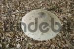 Thumbnail Parasol mushroom Mocrolepiota procera Bavaria Germany