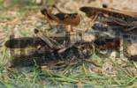 Thumbnail Migratory Locust Locusta migratoria