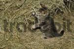 Thumbnail young cats at a farm play in the hay