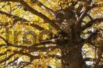 Thumbnail beech in autumn  Fagus sylvatica  Bavaria