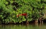 Thumbnail Scarlet Ibis Eudocimus ruber, Laguna de Tacarigua, Miranda, Venezuela, South America