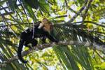 Thumbnail White-faced or White-headed Capuchin Cebus capucinus