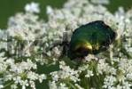 Thumbnail Green Rose Chafer Cetonia aurata, Angerberg, Tirol, Austria, Europe