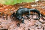 Thumbnail Alpine Salamander Salamandra atra, Riedener See Riedener Lake, Lechtal Lech Valley, Tirol, Austria, Europe