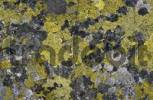 Thumbnail Lichens Rhizocarpon geographicum on a rock slab Switzerland