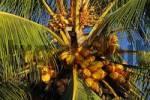 Thumbnail Coconut palm, Cocos nucifera, Costa Rica, Central America