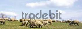 Thumbnail Herd of sheep, Windeck, North Rhine-Westphalia, Germany, Europe