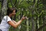 Thumbnail Araucaria araucana, Huerquehue Nationalpark, Chile