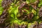 Thumbnail Lettuce Lactuca sativa